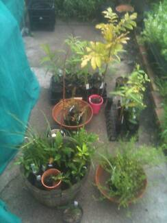 Useful plants: Bushfoods, chillies, coffee and more Mayfield West Newcastle Area Preview
