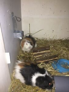 Male and female guinea pig for a good home