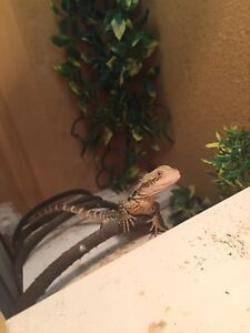 Eastern water dragon for sale