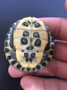 BABY Red eared slider for sale!!!