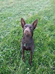 Pure bred kelpie 9 months old Katanning Pallinup Area Preview