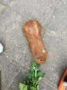 Guinea Pig for sale Crawley Nedlands Area Preview