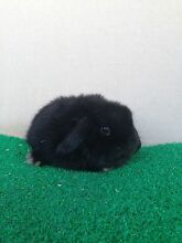 Mini lop girl Munno Para West Playford Area Preview