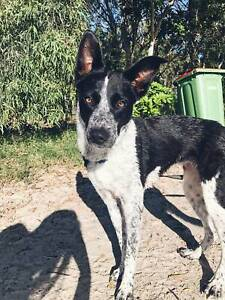 Free dog to GOOD HOME ONLY | Dogs & Puppies | Gumtree Australia