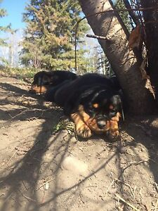 Purebred registered Rottweiler Puppies.