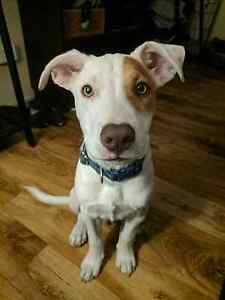 LOST DOG (Leo) white with brown patch over eye Caboolture South Caboolture Area Preview