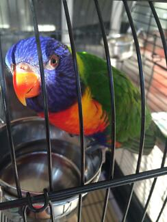 Rainbow Lorikeet - 9 months old New Lambton Heights Newcastle Area Preview