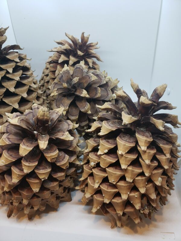 LOT OF 5 Coulter Pine Cones -  Fresh And Awesome new cones