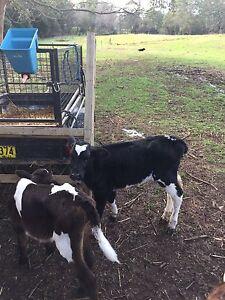 Fresian heifer calf./ calves Berry Shoalhaven Area Preview