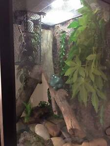 Large green tree frogs with talk Grange Charles Sturt Area Preview