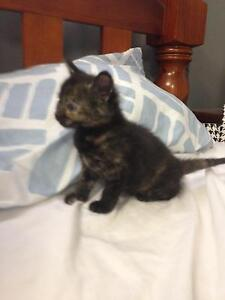 Female Kitten Windsor Hawkesbury Area Preview