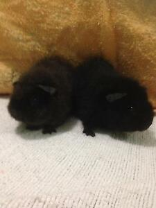 Baby Guinea Pig Bonded Pair Kenwick Gosnells Area Preview
