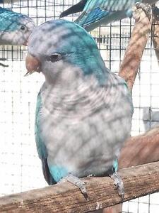 Quakers - Aviary bred Richmond Hawkesbury Area Preview