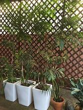 Large bamboo palms Little Bay Eastern Suburbs Preview