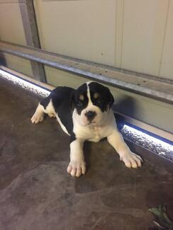 AMERICAN BULLDOG X AUSTRALIAN BULLDOG PUPPIES Pacific Pines Gold Coast City Preview