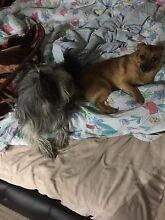 Lost 2 dogs Tarneit Wyndham Area Preview