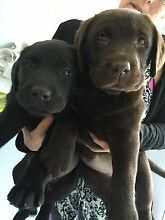 Pure Bred Labrador pups with Registration and Pedigree papers East Kurrajong Hawkesbury Area Preview