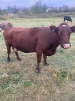 Shorthorn Bred cow