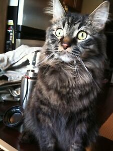 Beautiful part Maine coon adult cat
