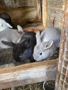 Baby rabbits mini lop x Netherland dwarf