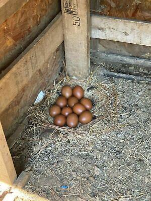 1 Dozen Fertile Pure Bred French Black Copper Maran Chicken Eggs Free Range