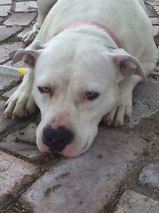 Female Amstaff Tahmoor Wollondilly Area Preview