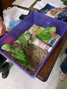 Alexandrine parrots Busselton Busselton Area Preview