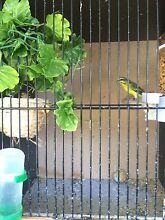 Canary mule set up Rockdale Rockdale Area Preview