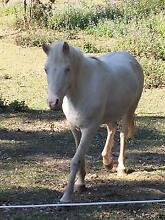 registered cremello welsh mare for sale Nana Glen Coffs Harbour Area Preview