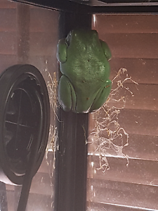 4 Northern Green tree frogs Shelley Canning Area Preview