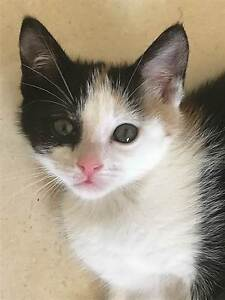 Little Paws Kitten Rescue - Sassy Forest Lake Brisbane South West Preview