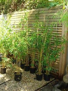 Bamboo plants,Alphonse Kar.Green hedge,Oldhamii Dingley Village Kingston Area Preview