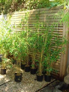 Bamboo plants,Gracillis,Alphonse Kar.Green hedge,Oldhamii