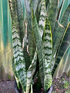 Snake plant large healthy