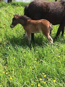AMHR FUturity nominated miniature horse show colt