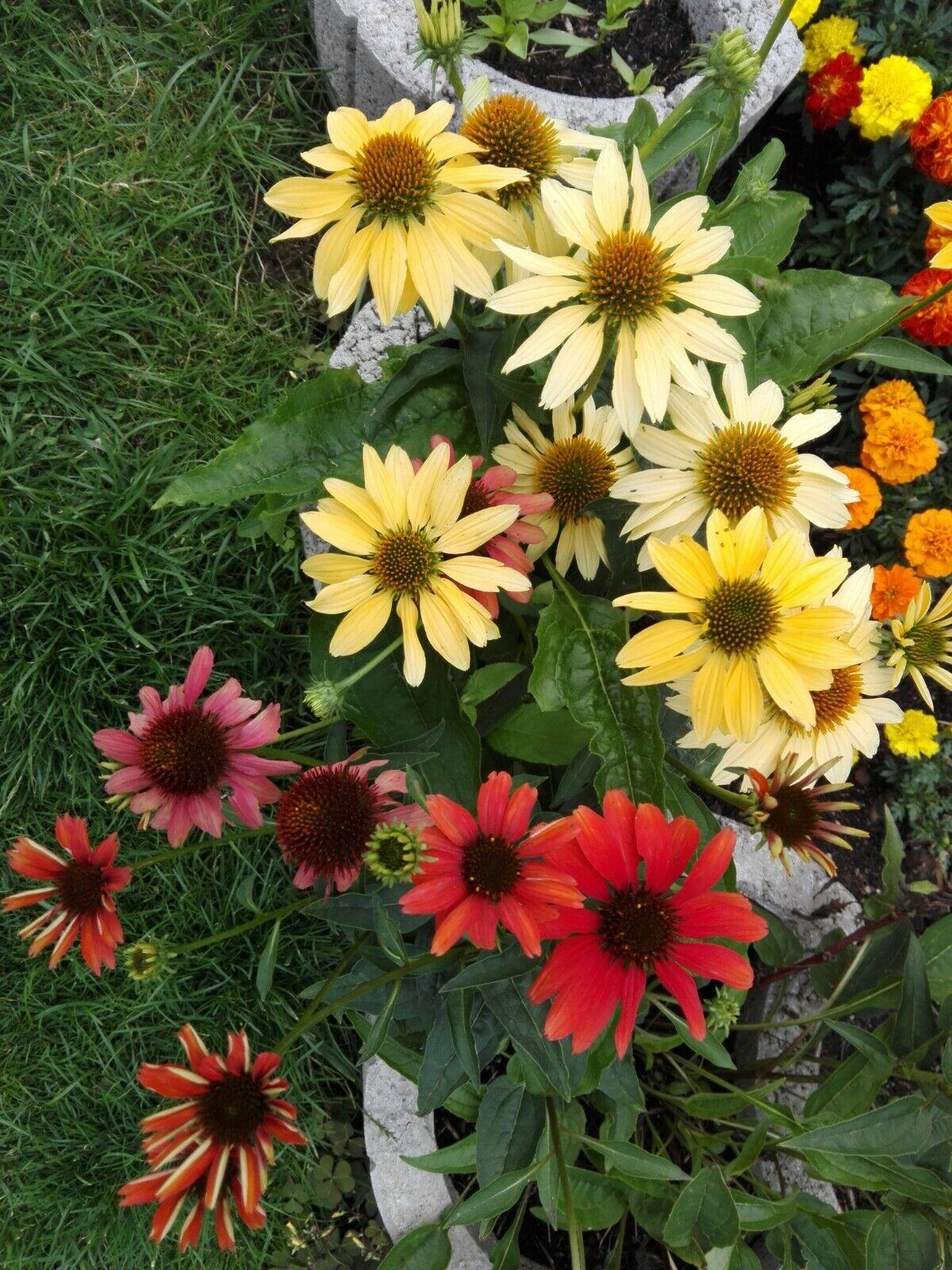 Sonnenhut * Mix * Echinacea *  20 * Blumensamen * handverlesen
