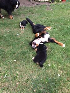 Kijiji Bernese Mountain Dog Ontario