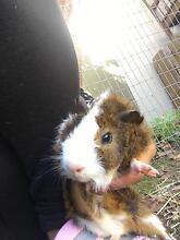 Guinea pigs North Turramurra Ku-ring-gai Area Preview