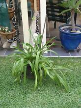 POT OF AGAPANTHUS Casula Liverpool Area Preview