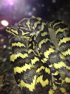 Two jungle pythons for sale toowoomba Toowoomba Toowoomba City Preview