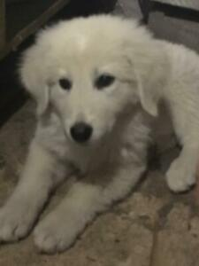 Maremma puppies for sale! Cute and fluffy
