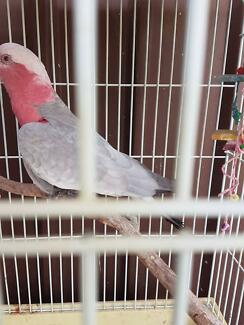 Galah for sale