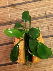 Anubias plan on india elephant statue for sale $45 Cheltenham Hornsby Area Preview