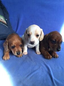 Dachshund Puppies Miniature Adopt Dogs Puppies Locally In