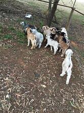 Range land baby goats Mallala Mallala Area Preview