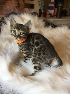 Purebred TICA registered Bengal kittens
