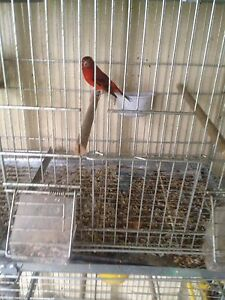 F1  cross canary and red siskin Hurstville Hurstville Area Preview