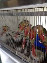 Handraised..Spoon-fed Green Cheek Conures Bonogin Gold Coast South Preview