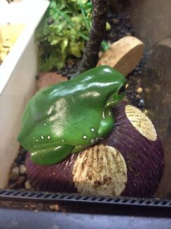 Green tree frogs and set up Evanston Gawler Area Preview