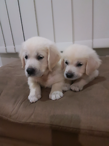 Purebred Golden Retriever Puppies with Papers - Limited Register Springfield Lakes Ipswich City Preview